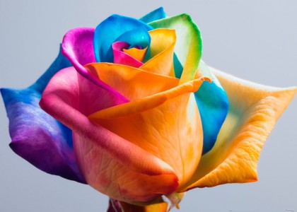 Rosas coloridas artificialmente